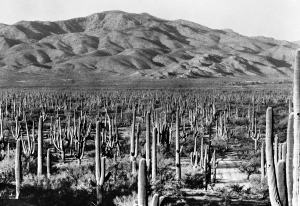 Saguaro National Park East, ca. 1935. NPS 3423